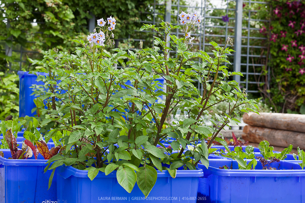 Potato Plants in Containers Potato Plants Growing in a