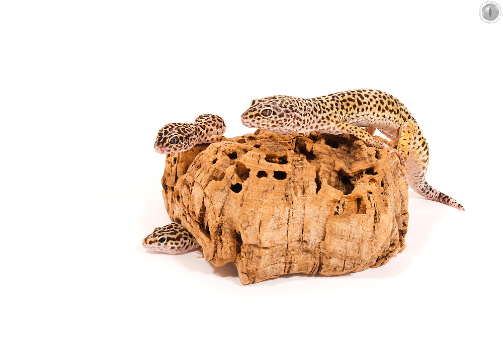 A group of leopard geckos, modelling on a bit of bark, taken in the studio.