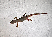 A common House Gecko clinging to the outside wall of a building at night hunting insects.