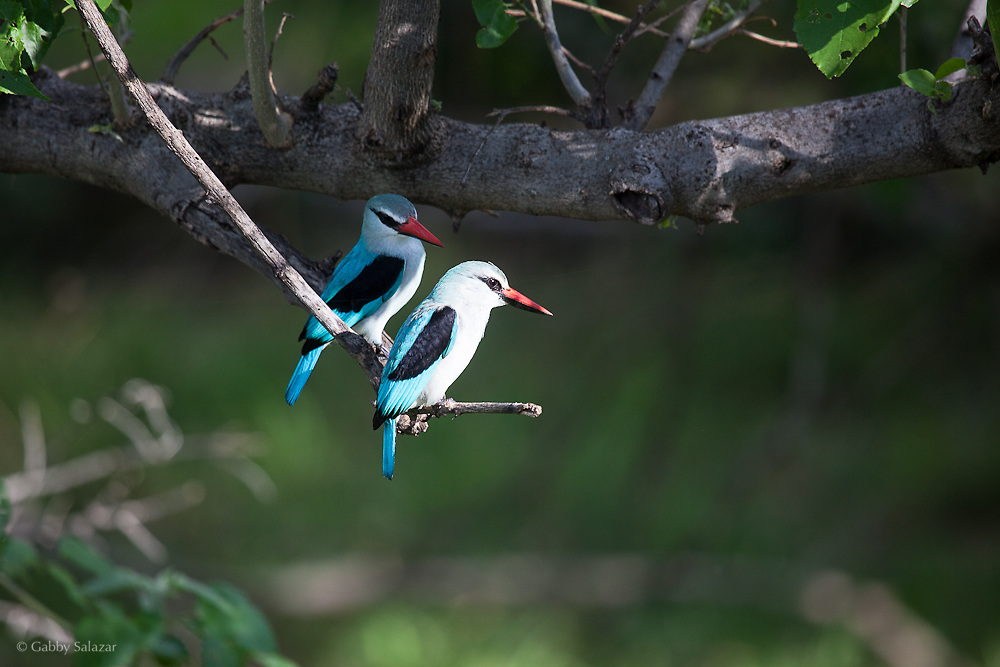 Woodland kingfisher (Halcyon senegalensis) perched in a tree in Mapungubwe National Park, South Africa.