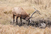 Bull elk at mud wallow during the rut in Wyoming
