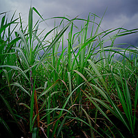 Sugar Cane Fields. Mauritus