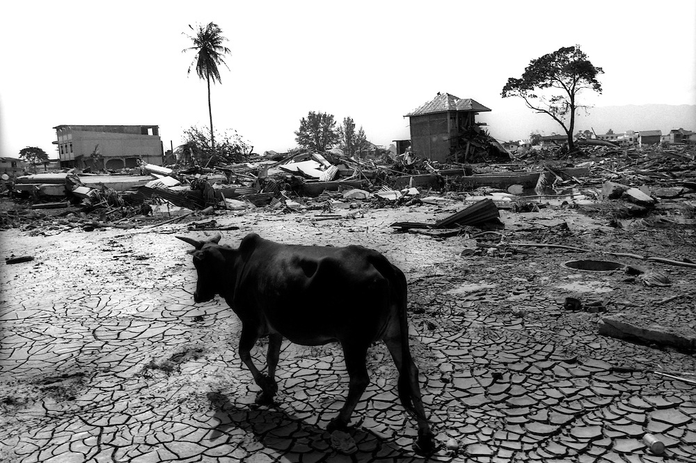 A cow walks through the shattered landscape of the Tsunami devastated city of Banda Aceh. January 4 2005.