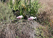 Pink Spoonbills at a Jekyll Island nesting site in a secluded rookery on the Island.