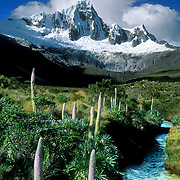 """Giant lupines (Lupinus weberbauerii) grow meter-tall flower stalks below snowy Mount Taulliraju (19,100 feet) in Tingopampa Valley, near Punta Union Pass, on the Santa Cruz Trek in Huascaran National Park, Peru, South America. Lupinus is a genus in the pea family (also called the legume, bean, or pulse family, scientific name Fabaceae or Leguminosae). UNESCO honored Huascaran National Park on the World Heritage List in 1985. Cordillera Blanca mountain range is in the Sierra Central of the Peruvian Andes. Published in Wilderness Travel 2002 and 2009 Catalog of Adventures. Published in """"Light Travel: Photography on the Go"""" book by Tom Dempsey 2009, 2010."""