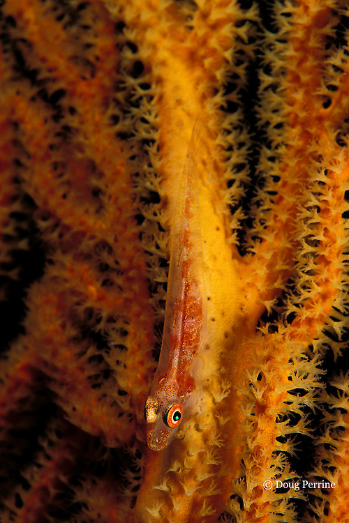 goby, Bryaninops sp., on sea fan, Flinders Reef, Coral Sea, Australia ( Western Pacific Ocean )