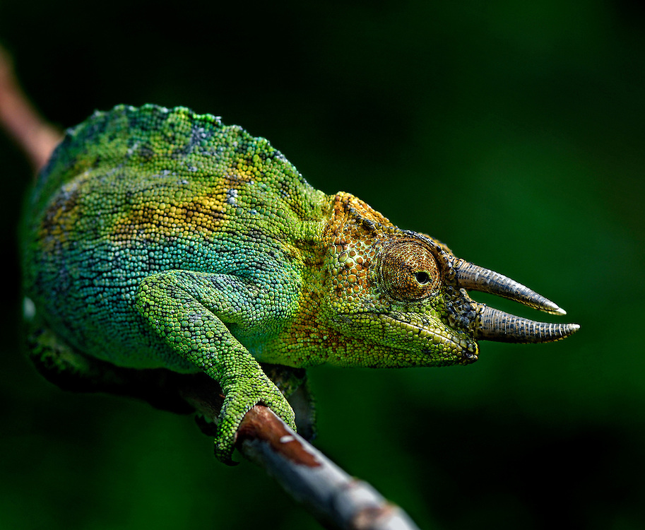 Along the path we found this pair of Johnston's CHameleons