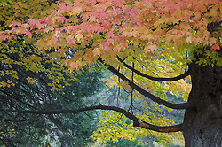 A colorful tree starts to change colors during the fall in Yosemite National Park, California.