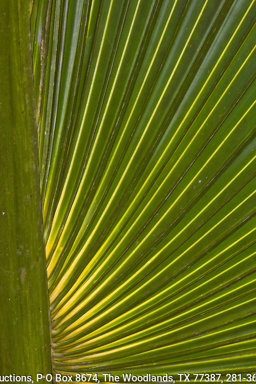 Palm leaf, backlit, Osa Peninsula, southern Costa rica.