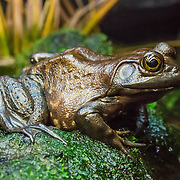 "The American bullfrog (Lithobates catesbeianus) is an aquatic frog, a member of the family Ranidae, or ""true frogs"". Photographed in the Vancouver Aquarium, 845 Avison Way, Vancouver, British Columbia, V6G 3E2, CANADA. (Formerly classified as Rana catesbeiana, this species has been reclassified to Lithobates due to paraphyly/branching in its Ranidae family.) This frog has an olive green back and sides blotched with brownish markings and a whitish belly spotted with yellow or grey. The upper lip is often bright green and males have yellow throats. The bullfrog is harvested as food (frog legs) in North America, where it is the largest native frog. This frog is endemic to southern and eastern parts of the United States and Canada, but has been widely introduced across other parts of North, Central and South America, Western Europe, and parts of Asia where it is often regarded as an invasive species. Bullfrogs are used in biology classes in schools for dissection and are sometimes kept as pets, which is not recommended."