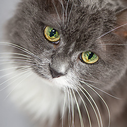 Elly - Gray DLH cat