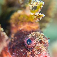 Dwarf Lionfish, Dendrochirus brachypterus, Maumere, Flores, Indonesia.