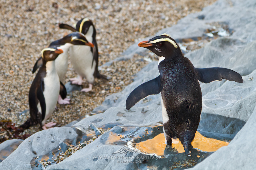 Who wants swimming lessons?  Gather round everyone, we'll start with the birdy paddle at the shallow end!  A group of Fiordland Crested Penguins explore the beach after a long day out at sea, along the West Coast of the South Island of New Zealand.