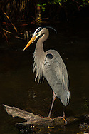 Great Blue Heron in breeding plumage in the swamp at Ding Darling National Wildlife Refuge, Sanibel, Florida.