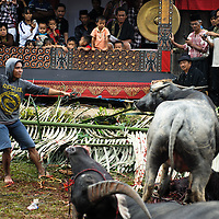 Indonesia, Sulawesi. Buffalo sacrificing. <br /> <br /> The most important ceremony in Tana Toraja is a funeral, because of the beliefs, that without proper funeral rites the soul of the deceased will be not only enter the second life, but also will bring a misfortune to the whole members of the family.<br /> Although Torajan funeral tradition can vary depending on a particular village, a typical ceremony lasts for 4 days. The first day is a procession, during which the deceased is visiting the whole village. Second day it's &quot;receiving&quot;, when all the guests arrive and are welcomed by the family members. The third day is the most bloody, because of the buffalo slaughtery (the Torajans believe that the animals should follow people in the second life). On the fourth day the body is taken to the grave.
