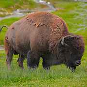 Grazing Bison - Yellowstone National Park