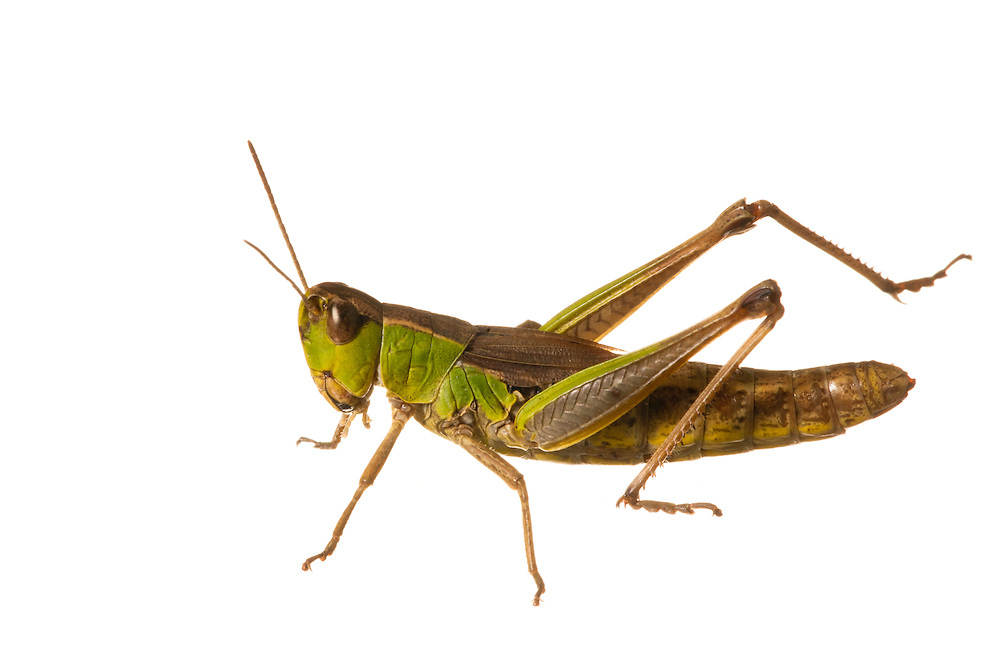 Meadow grasshopper in the field studio