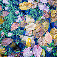 Fall leaves and floating green algae