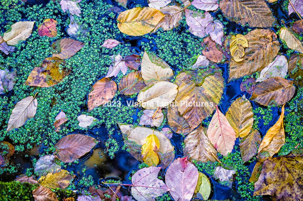 Fall leaves and floating green algae