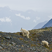 "A mountain goat and kid share the Exit Glacier Trail in the Kenai Mountains of Alaska, USA. The mountain goat (Oreamnos americanus, or Rocky Mountain Goat) is a large-hoofed mammal found only in North America. It is an even-toed ungulate in the family Bovidae, in subfamily Caprinae (goat-antelopes), in the Oreamnos genus, but is NOT a true ""goat."" The only road into Kenai Fjords National Park is a spur of the Seward Highway to Exit Glacier, one of the most visited glaciers in Alaska. It was named after the exit of the first recorded crossing of Harding Icefield in 1968. Hike trails to the glacier terminus or up to Harding Icefield."