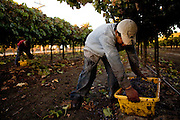 Grapes are harvested in the Bogle vineyard near Clarksburg, Calif., October 24, 2009.