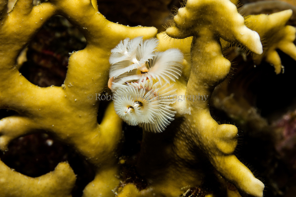 Fire coral with a Christmas tree worm growing from within it.