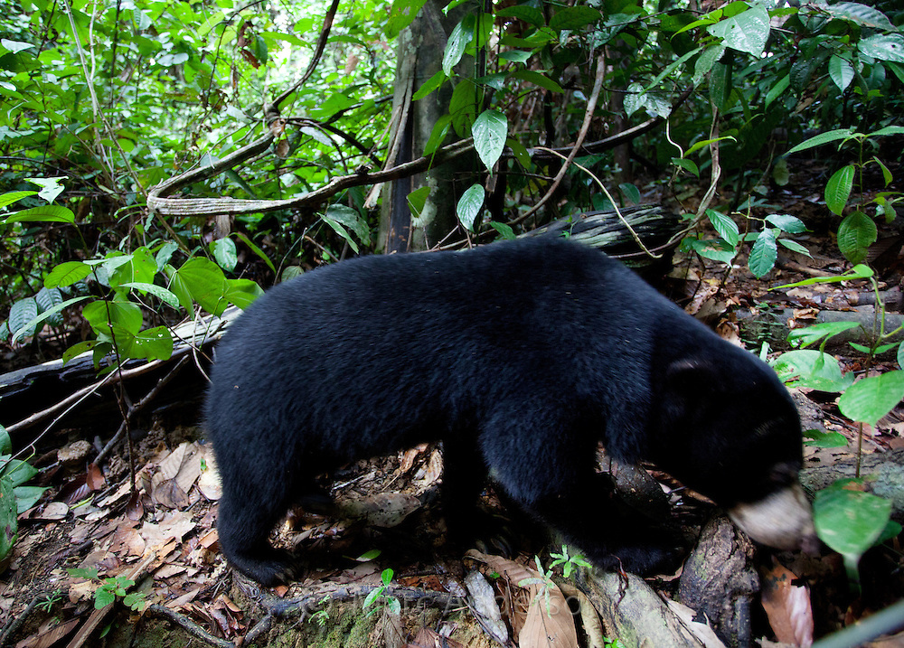 Sun Bear, Helarctos malayanus, Bornean Sun Bear Conservation Centre, Sabah, Malaysia