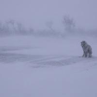 Canadian Eskimo Dog Hudson Bay Churchill Northern Canada   &amp;#xA;camouflage , mimetism ,winter , tundra , arctic , ice , mammal , snow , white , endangered @ Kike Calvo - V&amp;W<br />