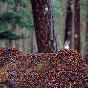 Red squirrel on cone midden atop downed larch log in old-growth forest. Kootenai National Forest in the Yaak Valley. Purcell Mountains, northwest Montana.