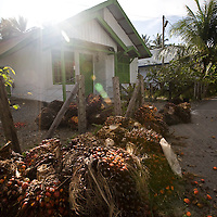 Kuala Trang Village near Meulaboh - Aceh, Indonesia  Nov. 2008. (Heifer Participant) A pile of recently harvested palm oil seeds. The price of palm oil has plummeted so fast that for may people it it not worth harvesting.