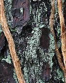 American Tree Bark