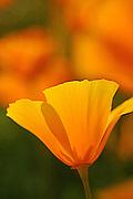 California Poppy in Sunlight in the Antelope Valley of California.