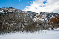 Aspen (Populus tremuloides) grove, Paradise Valley, south of Livingston, Montana, PROPERTY RELEASED.