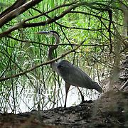 Great Blue Heron fishing in a Jekyll Island Marsh