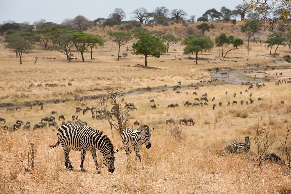 Africa, Tanzania, Tarangire National Park, Plains Zebra (Equus burchelli) and Wildebeest (Connochaetes taurinus) herds along Tarangire River