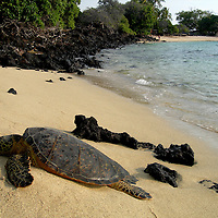 Hawaii, South Pacific.  turtle sunning itself on a sandy beach.