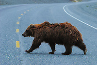 Grizzly bear crossing the Alaska Highway at Kluane Lake