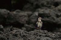Floreana (Charles) Mockingbird (Mimus trifasciatus).  <br />IUCN Red List:  Endangered<br />Champion Islet off Floreana (Charles) Island, Galapagos Islands, Ecuador.