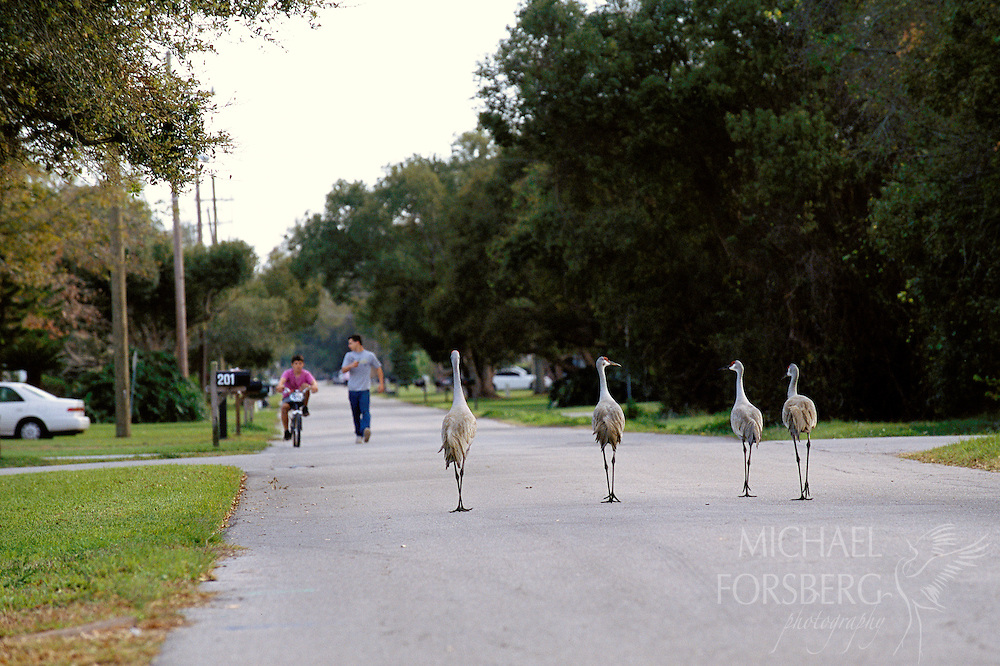 Florida Sandhill Cranes. St. Cloud, Florida. A gang of Florida Sandhills meets children on the street.