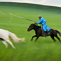 A Mongolian horsemen dressed in traditional clothing carrying his Uurga (herding pole) chases a horse in grasslands of Inner Mongolia.