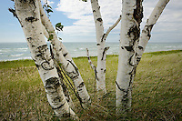 One of many groups of Birch trees scattered along US-2 and Lake Michigan.<br />