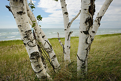 One of many groups of Birch trees scattered along US-2 and Lake Michigan.<br /> Michigan's Upper Peninsula