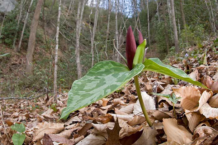 Little Sweet Betsy (Trillium cuneatum), Mountain Bridge Wilderness, South Carolina