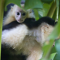 Adult and juvenile white-faced capuchin monkeys, Osa Peninsula, Costa Rica
