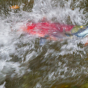 A sockeye salmon (Oncorhynchus nerka) battles its way up the Cedar River to spawn in the autumn. Sockeye salmon are also known as red salmon or blueback salmon. The males do not turn red until they return to the rivers or streams where they hatched to spawn.