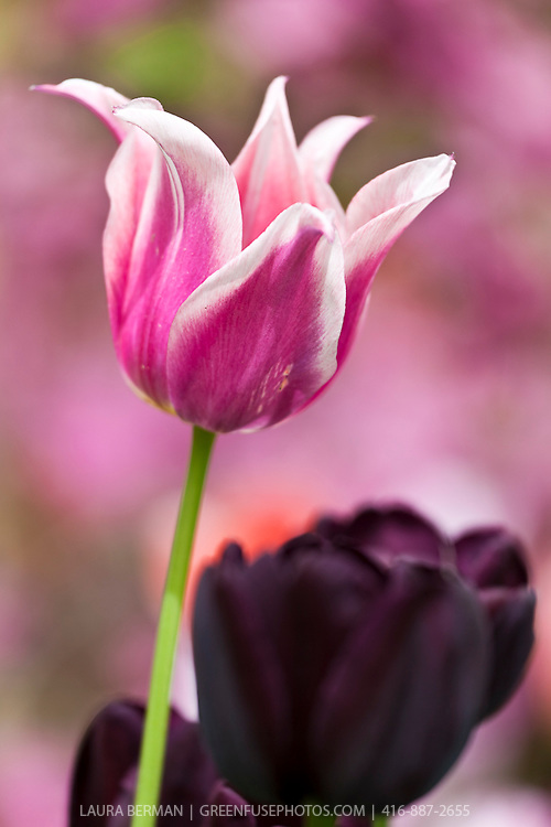Pink, purple and white tulips