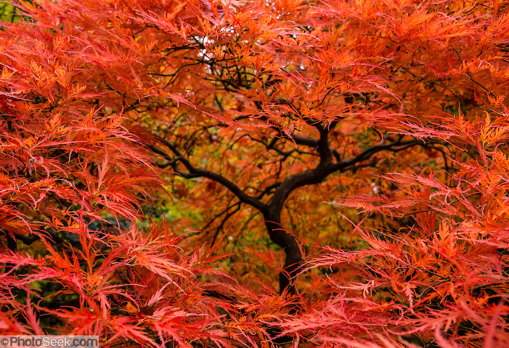 A Japanese maple turns red in autumn. The Seattle Japanese Garden was completed in 1960 within UW's Washington Park Arboretum. Address: 1075 Lake Washington Blvd E, Seattle, Washington 98112, USA.