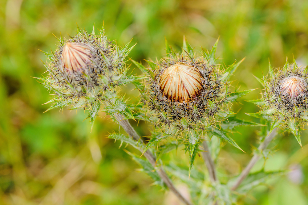 Driedistel, Carlina vulgaris