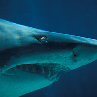 South Africa, Cape Town, Ragged Tooth Shark (Odontaspis ferox) swimming in Two Oceans Aquarium (captive)