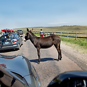 One of the many begging Burros in Custer State Park, South Dakota.